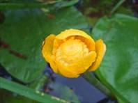 18 кубышка желтая