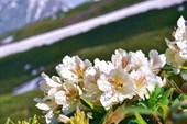 цветущие рододендроны
