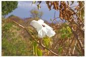 Белый цветок Монте-Альбана