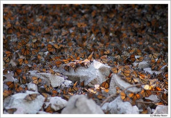 Бабочки Монархи