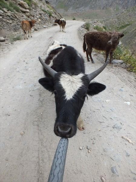 Дорога в Занскар. Мини коровы