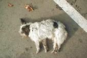 Собака абхазская