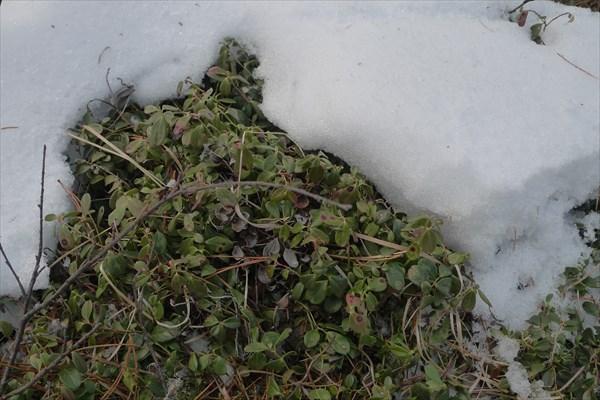 Брусничник из-под снега...