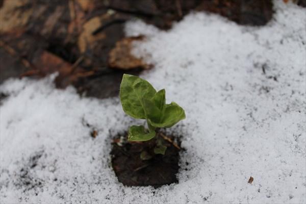 В лесу снег мало, но встречается