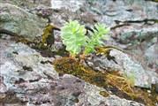 Радиола Розовая (золотой корень) на Чувале
