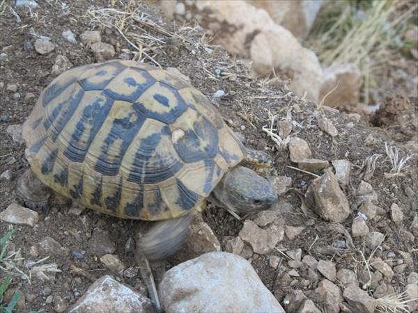 Черепаха в Подгорице