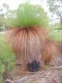 Grass tree, травяное дерево.