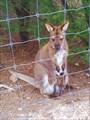 В нацпарке Фрейсинет нас встречает кенгуру