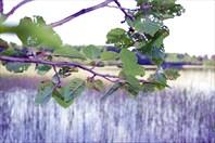 Карельская листва