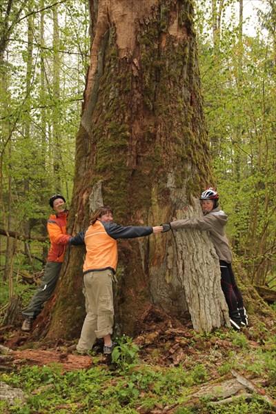 Беловежская пуща. Самое старое дерево в Европе.