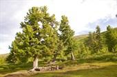 Реликтовые кедры на перевале Арой.