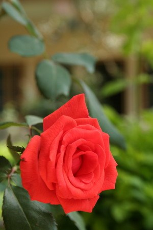 Роза в гостинице