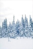 Леса Приполярья