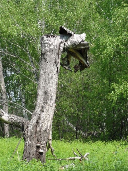 Дерево-дракон.