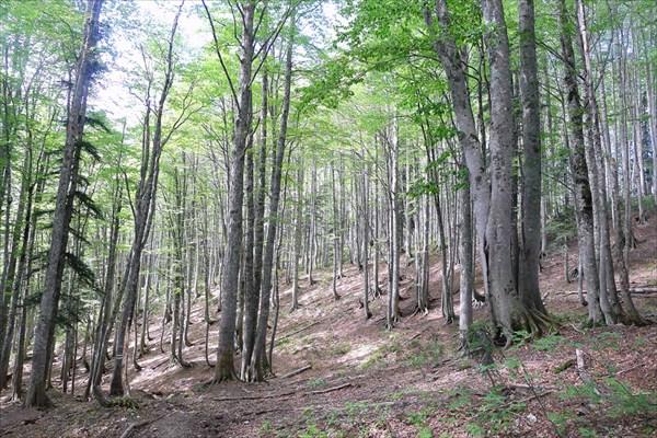 Буковый лес снова