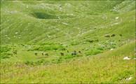 лошади в альпийских лугах