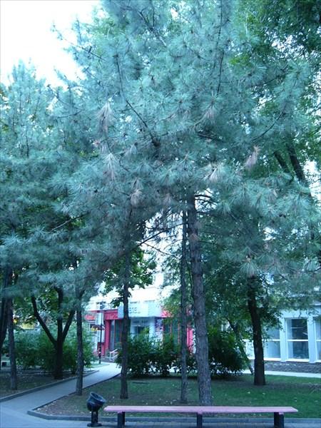 Сибирский Кедр в Ростове на дону