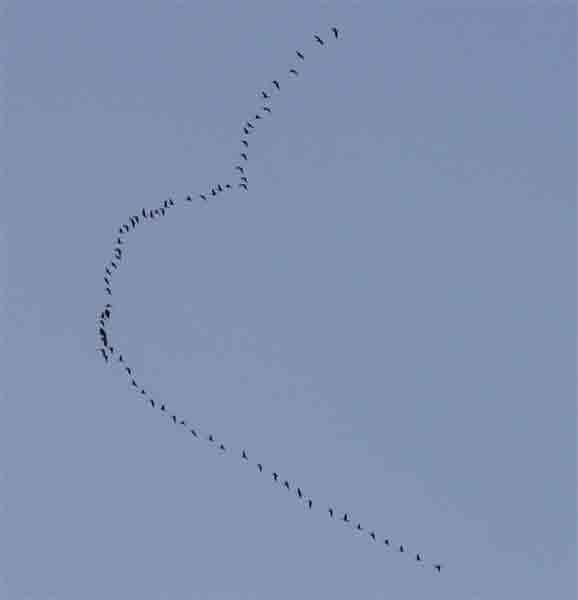 Перелетные птицы...