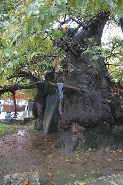 Дерево 900 лет