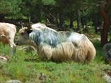 Кавказский красавчик