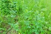 Наш любимый `зеленый горошек`