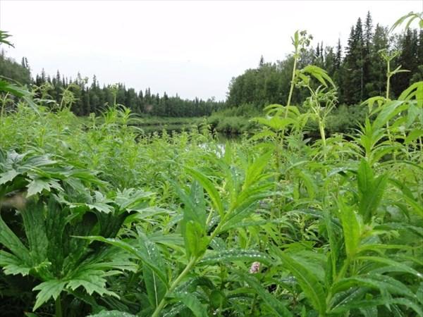 Дремучие травы
