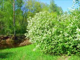 Река Гусь. Май, 2008. Цветет черемуха.