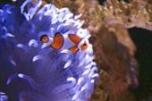 Полосатик и неоновый коралл