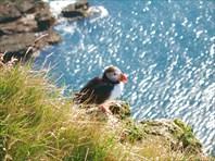 Птица Тупик - символ Исландии