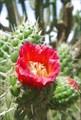 Кактусы цветут на экваторе
