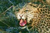 An_leopard