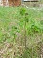 Растение со вкусом зеленого горошка