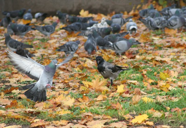 ворона прогоняет голубя