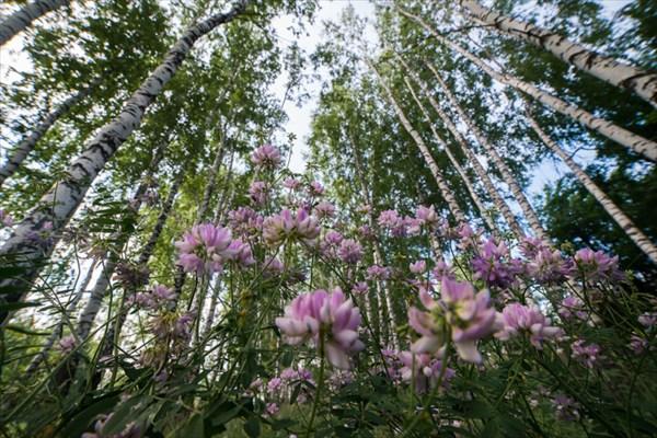Цветы в березовом лесу под Липецком