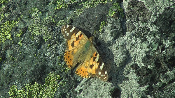 Бабочки  в заполярье, да еще и на высоте, оказывается бывают