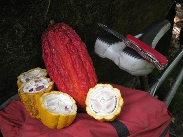 Какао-плоды1
