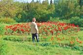 Приполярные тюльпаны