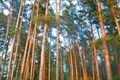 стена соснового леса