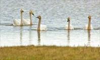Танец малых лебедей