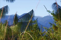 Длинная хвоя Blue Pine в долине Мечуки