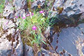 Удивительно яркие гвоздички на скалах вдоль р. Кии
