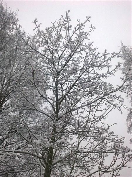 Клён зимний
