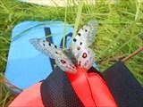`Натюрморт` с бабочкой