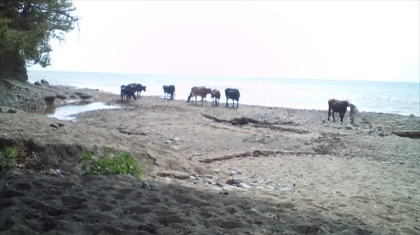 Нашествие коров