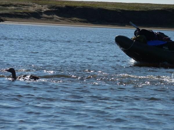 Гуси шныряют под лодкой