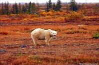 Большие белые медведи