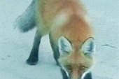 Лисица не боится людей.