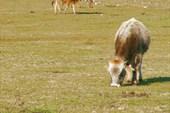 и коровы тоже