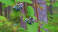 Таежные ягоды