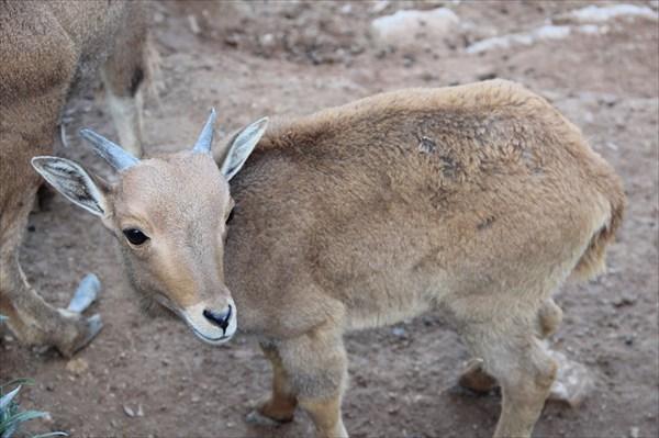 Некий козленочек из зоопарка Агадира